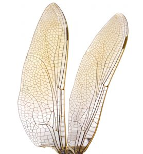 insect-wings
