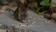 What Do Mice Eat?